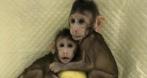 Клонированные обезьяны