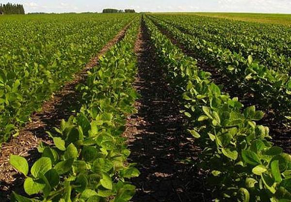 технология выращивания сои в украине кредит нашем