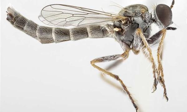 Ученые классифицировали новый вид мух-убийц