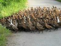 В Китае более 20 тысяч уток устроили пробку, пока переходили через дорогу