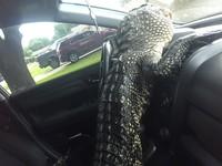 В США аллигатор сел за руль, спасаясь от зоозащитницы