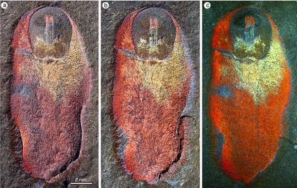 В Марокко обнаружено древнее существо возрастом 480 млн лет