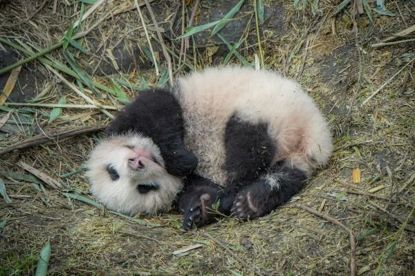 Убийство панды в Китае карается сроком до 10 лет