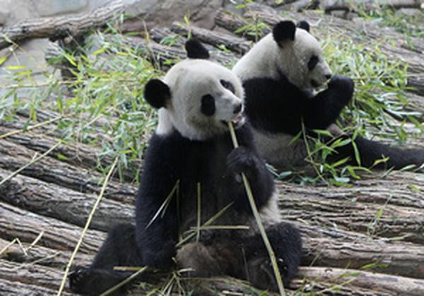 В день панда съедает около 30 кг бамбука