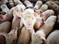 Нацбанк вложился в свиней