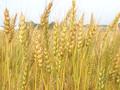 Азаров ухудшил прогноз урожая зерновых из-за дождей