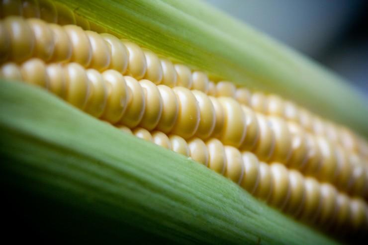 Старейшина среди злаковых культур - Кукуруза